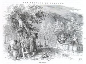 Harvesting vines grown on elm trellis in Italy